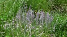 Tidal Estuary: Grasses In A Wet Land Marsh.