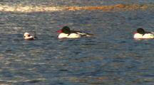 Long Tailed Ducks And Common Mergansers