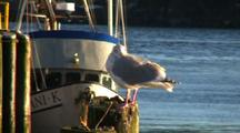 Glaucous Winged Gull On Dock