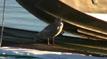 Herring Gull Rests Under A Float Plane
