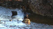 Ravens Bathe In Estuary Creek