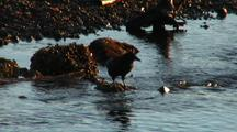 Raven Feeds In Estuary Creek