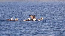 Longtailed Ducks (Old Squaws)