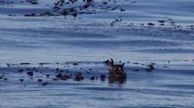 Harlequin Ducks (Female) In A Kelp Bed