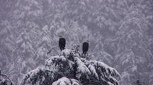 Bald Eagles In A Snow Storm