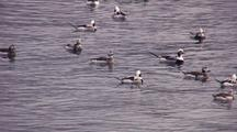 Long Tailed Ducks (Old Squaw)