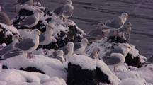 Sea Gulls Enjoying The Snow