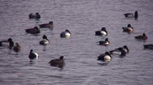 Lesser Scaup Ducks