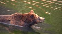 Alaska Brown Bears Swimming In The Water