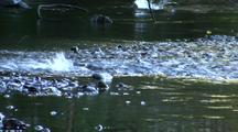 Salmon Swimming Up A Fast Stream