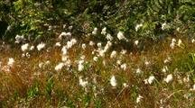 Wild Flowers (Alaska Cotton)