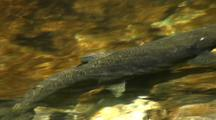 Close Up Of Spawning King Salmon