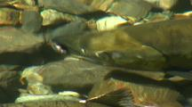 A Male Chum Salmon In Spawning Colors