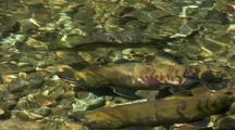 Chum Salmon In Spawning Colors