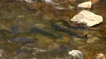 King Salmon Spawning In A Stream