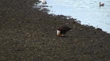 Eagle Feeding On A Salmon