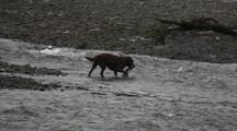 A Dog Catches A Salmon!