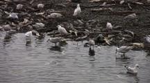 Gulls Feeding On Dead Fish