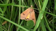 Moth On Grass