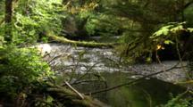 Salmon Swim In Small Stream