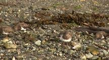 Sandpipers On A Pebble Beach