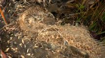 Maggots Feeding On Dead Salmon.