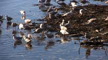 Gulls Feeding On Dead Salmon.