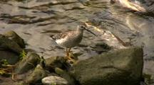 Yellowlegs Feeding Near Dead Salmon