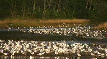 Hundreds Of Gull Waiting For Salmon