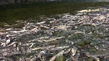 Dead Salmon On Stream Or River Bank