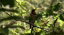 Varied Thrush In Tree, Flies Away