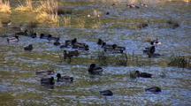 Lot's Of Ducks