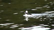 Bufflehead Duck (Male)