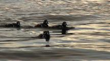 Harlequin Ducks (Males)