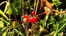 Poisonous Baneberry