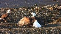 Bald Eagles Fight Over A Dead Fish