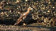 Well Camouflaged Young Eagle