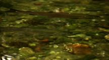 A Pair Of Silver Salmon (Coho) In A Clear Stream