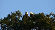 Bald Eagles Peeking Over The Tree