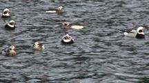 Longtailed Ducks