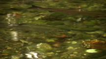 Silver Salmon (Coho)