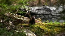 A Mink Dashes Off