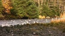 Gulls Riding  A River For Fun
