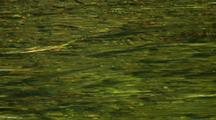 Coho (Silver Salmon) In A Clear Stream