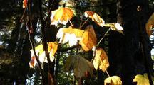 Fall Colors: Devils Club Plant