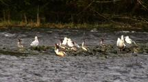 Mergansers And Gulls