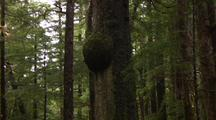 A Large  Burl On A Spruce Tree