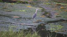 Great Blue Heron In A Salt Marsh