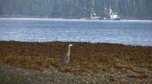 Great Blue Heron Watching Fishing Boats