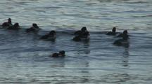 Scaups Riding Swell
